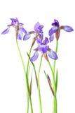Blauwe Iris Stock Fotografie