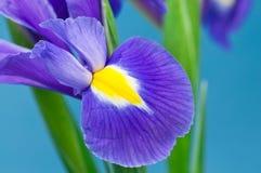 Blauwe Iris Royalty-vrije Stock Foto's