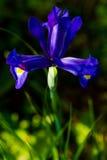 Blauwe Iris stock foto
