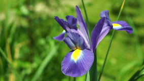 Blauwe Iris Flower in Zon stock videobeelden