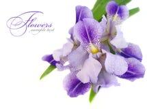 Blauwe irisbloem Royalty-vrije Stock Afbeelding