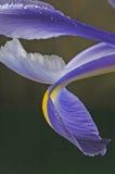 Blauwe irisbloemblaadjes twee Stock Afbeeldingen