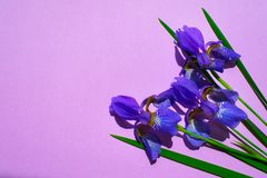 Blauwe irisbloemen op een zachte purpeachtergrond stock afbeelding