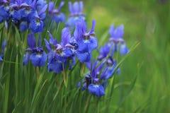 Blauwe irissen Stock Foto's