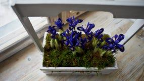 Blauwe irissen in een doos met handvat, tribune op de venstervensterbank Royalty-vrije Stock Fotografie