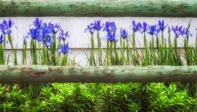 Blauwe Irissen en een houten omheining royalty-vrije stock fotografie