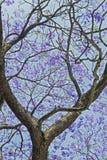Blauwe jacaranda, een mooie blauwe boom royalty-vrije stock foto