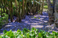 Blauwe Jacaranda (Jacaranda-mimosifolia) Royalty-vrije Stock Fotografie