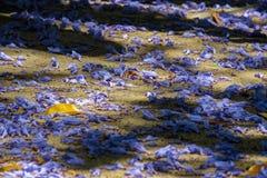 Blauwe Jacaranda (Jacaranda-mimosifolia) Royalty-vrije Stock Afbeeldingen
