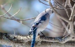 Blauwe Jay Cyanocitta-cristata in de vroege die lente, op een tak wordt neergestreken die, die en zijn domein waarnemen onderzoek Stock Afbeelding