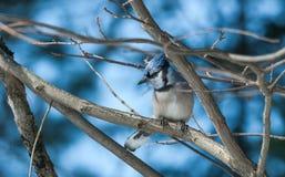 Blauwe Jay Cyanocitta-cristata in de vroege die lente, op een tak wordt neergestreken die, die en zijn domein waarnemen onderzoek Stock Fotografie