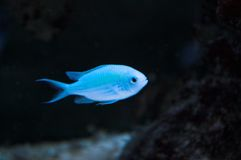 Blauwe juffervissen in aquarium Stock Afbeelding