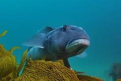 Blauwe kabeljauw op kelp Stock Afbeeldingen