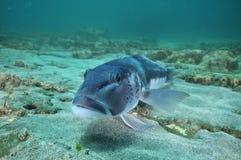 Blauwe kabeljauw op zandige bodem royalty-vrije stock fotografie