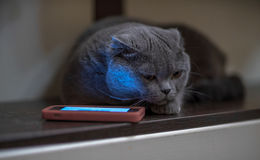 Blauwe kat dichtbij de telefoon Stock Fotografie