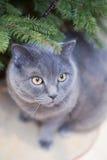 Blauwe kat en spar Stock Afbeelding