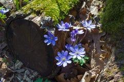 Blauwe Kidneywort-Bloemen royalty-vrije stock foto