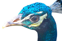 Blauwe kleur picock Stock Foto's