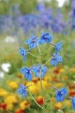 Blauwe klokbloem Royalty-vrije Stock Fotografie