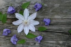 Blauwe klokjepersicifolia en witte bloemclematissen op houten achtergrond Het klokje is een bloeiende installatie Vlak leg Stock Fotografie