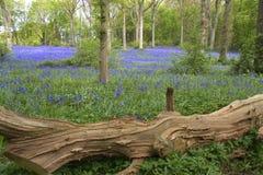 Blauwe klokken in Engeland royalty-vrije stock foto