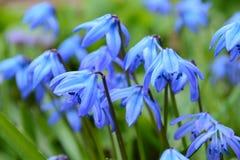 Blauwe koningin II Stock Fotografie