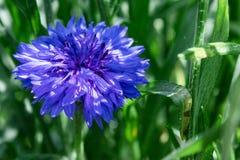Blauwe korenbloem op een achtergrond van groen gras stock afbeeldingen