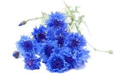 Blauwe korenbloemen stock afbeelding