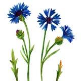 Blauwe korenbloemen Stock Afbeeldingen