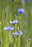 Blauwe korenbloemen royalty-vrije stock foto's