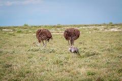 Blauwe kraan met twee Struisvogels Royalty-vrije Stock Foto's