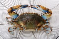 Blauwe krab Royalty-vrije Stock Foto's