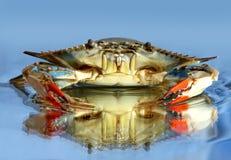 Blauwe krab Royalty-vrije Stock Afbeeldingen