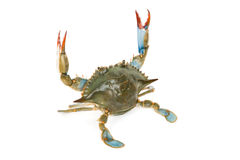 Blauwe Krab Stock Afbeelding