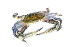 Blauwe krab die op wit wordt geïsoleerd Royalty-vrije Stock Afbeeldingen