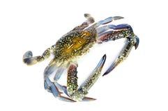 Blauwe krab die op wit wordt geïsoleerd Stock Afbeelding