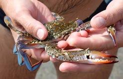 Blauwe krab in handen Stock Afbeeldingen