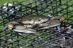 Blauwe Krab op zeekreeftpot Stock Foto