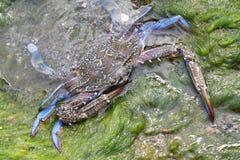 Blauwe krab tegen zeewier Stock Afbeelding