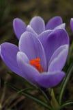 Blauwe Krokus Royalty-vrije Stock Fotografie
