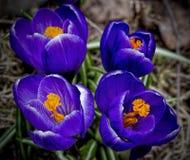 Blauwe krokus, macro, vier bloemen royalty-vrije stock afbeelding
