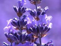 Blauwe lavendel Stock Foto