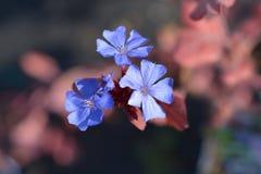 Blauwe Leadwort stock foto's