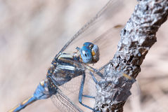 Blauwe Libel Stock Afbeeldingen