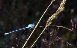 Blauwe libel op de achtergrond van gras Stock Afbeeldingen