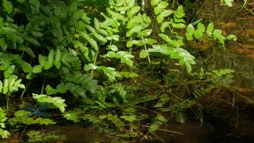 Blauwe Libel op de kleine waterplant stock footage