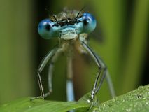 Blauwe Libel - puella Coenagrion Stock Afbeeldingen