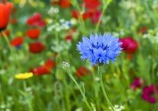 Blauwe liefde-in-a-mist of nigelladamascenabloem Stock Afbeelding