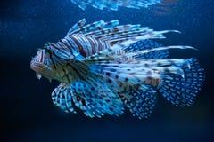Blauwe lionfish royalty-vrije stock afbeeldingen