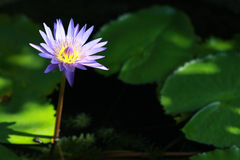 Blauwe lotusbloem Stock Foto